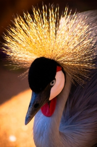 1379501_black-crowned_crane.jpg