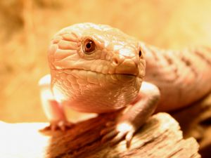668307_blue-tongued_skink.jpg