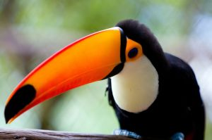 779349_brazilian_toucan_bird_1.jpg