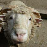 sheep イソ