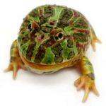 カエルありマス。 藤井