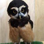 メガネフクロウ(Spectacled Owl)