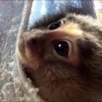 赤ちゃんコモンマーモの動画up!
